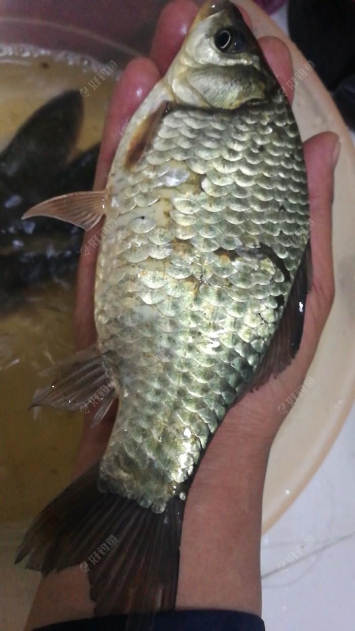 野生板鲫,鱼鳞被鱼护伤了。