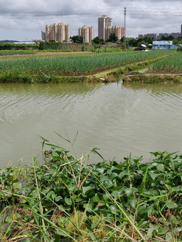 这里是菜地河,有罗非和小鲫鱼