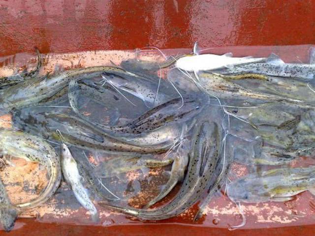 身上長有如黑芝麻一樣的黑點圖紋,這是種什么魚呢?