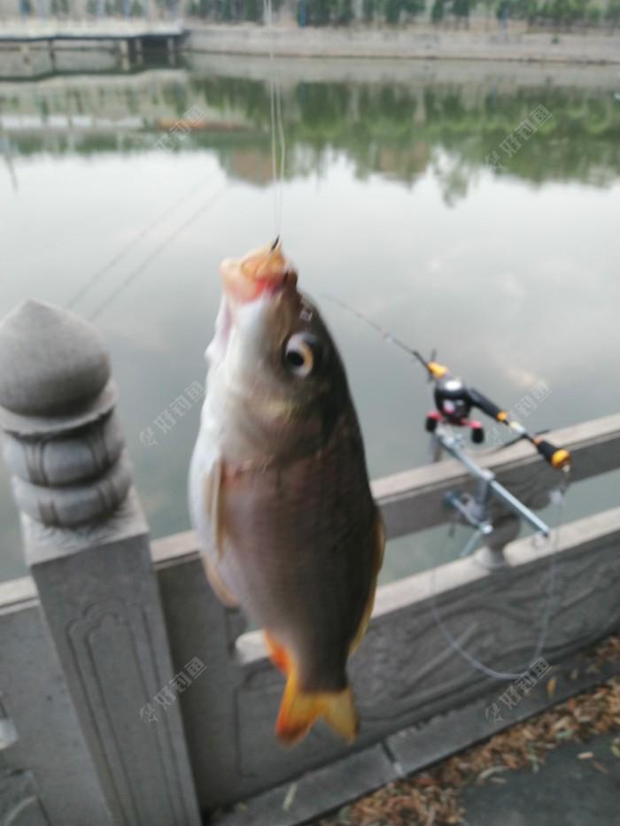 筏竿摆设,用手竿,很快,第一尾鲤鱼上岸,觉得好舒服,筏竿好久没有手感了,爽。