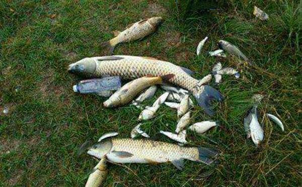 自制麦粒饵,夏季使用通杀大小鱼