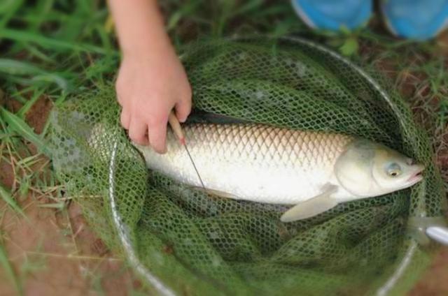 户外野钓大型草鱼的一些特色钓法