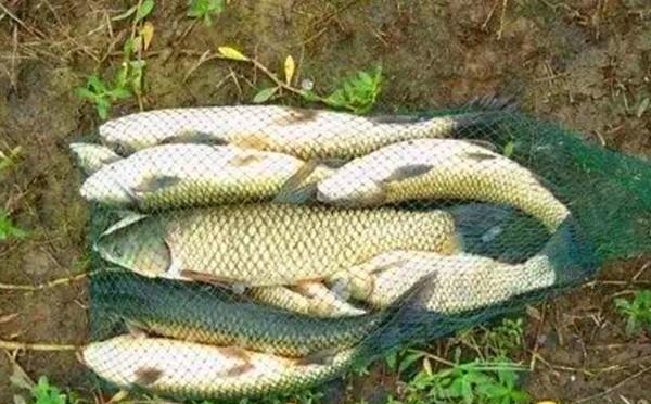 夏季釣草魚黃金季節,這種釣法值得一學
