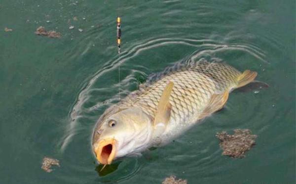 夏季钓鲤鱼的用饵和打窝技巧分析