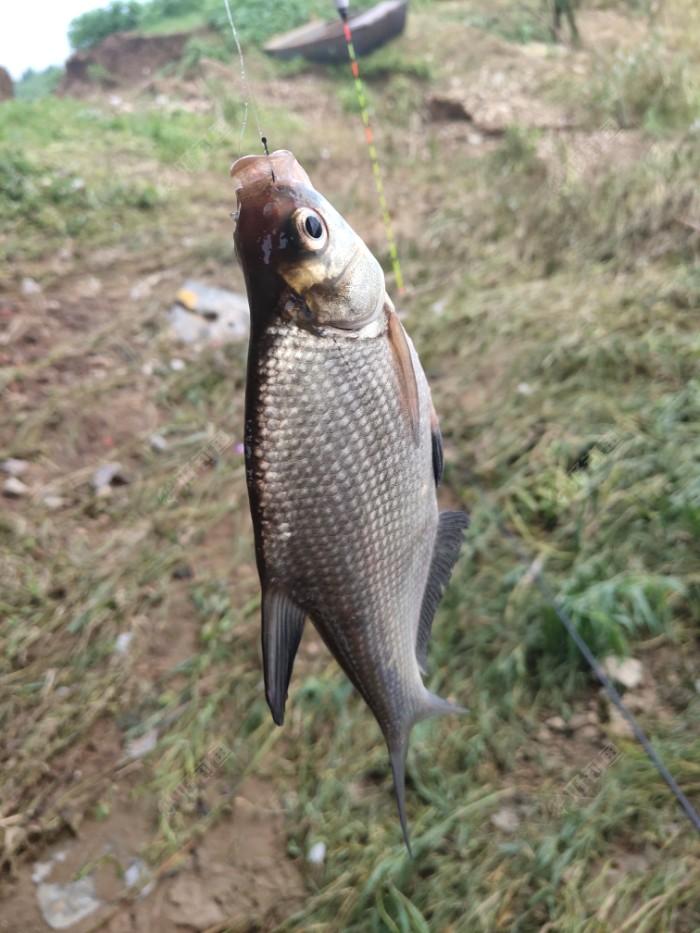 我的开竿鱼,第一次钓到鳊鱼,野钓真的很少在台儿庄