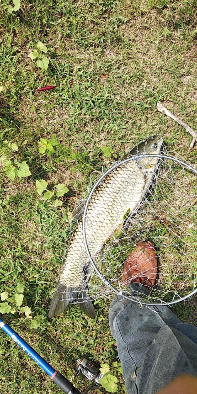 一点多又是连斗两草鱼,大的有五斤上下,小的有四斤上下,这鱼有规律了,两小时左右来两条,。我又补点玉米,三点多又斗个小鲤鱼和小草鱼,时间不多了我又多补点