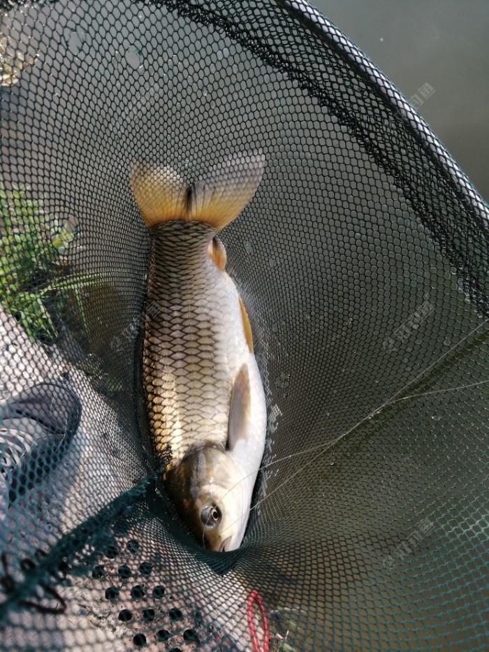 开杆鱼,4+斤草鱼
