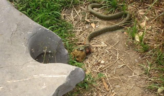 野钓遇到蛇怎么办?我们是不是要准备烧烤架和孜然