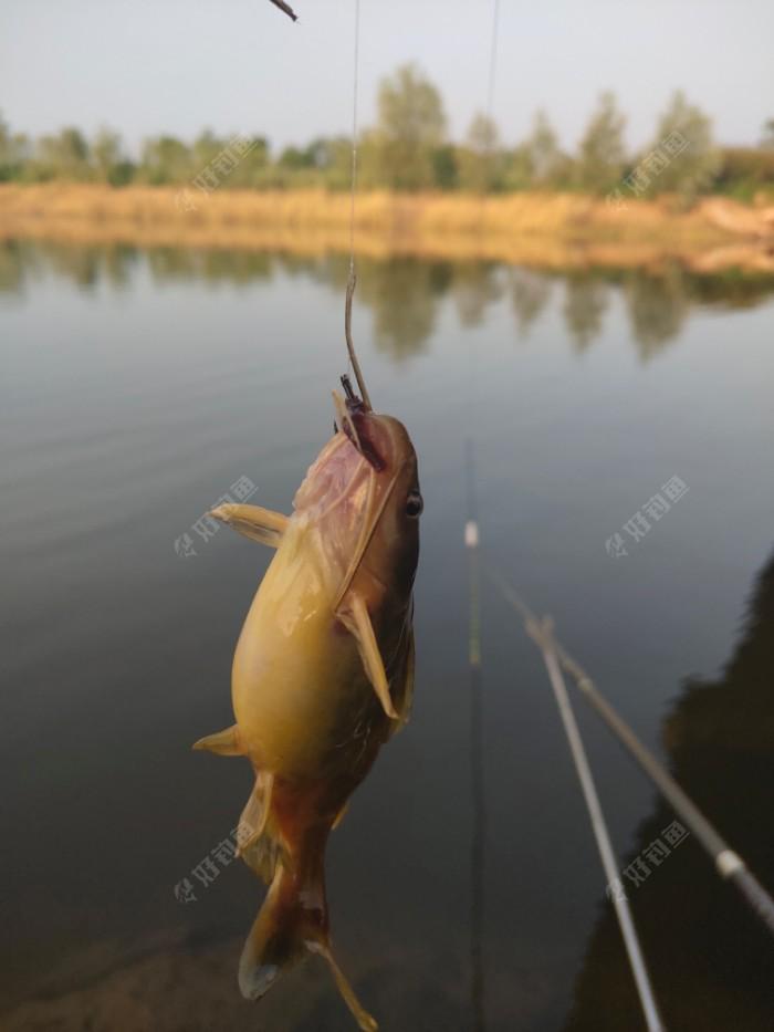 黄辣丁,目标鱼出现,坐等天黑,鱼获更多