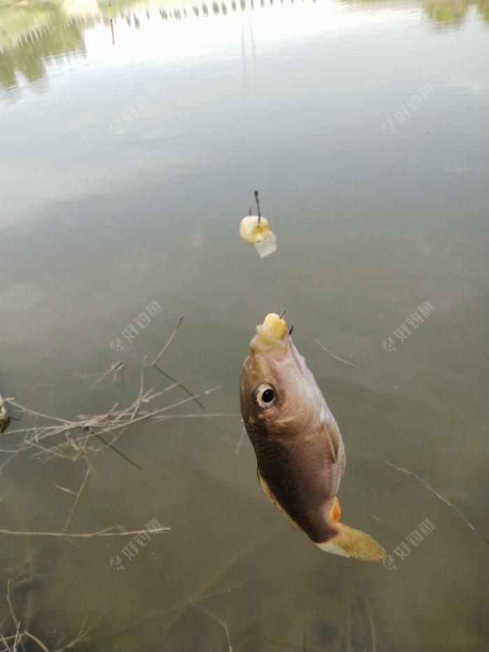 玉米饵料,还是正口,鲤鱼喜欢的不得了。