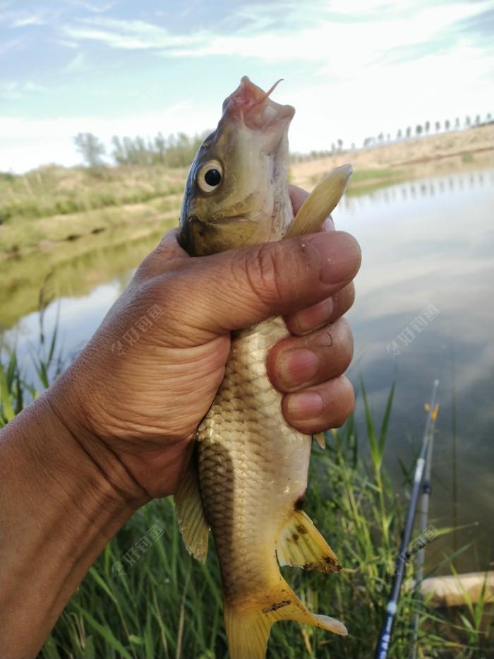 小竿上的鲤鱼,胡须不小。就是个子小点。
