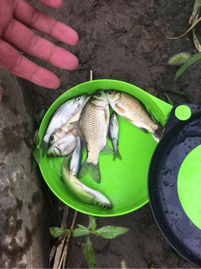 整体上四种鱼麦穗,鲫鱼,白条,翘嘴,这应该是香味加多的原因。