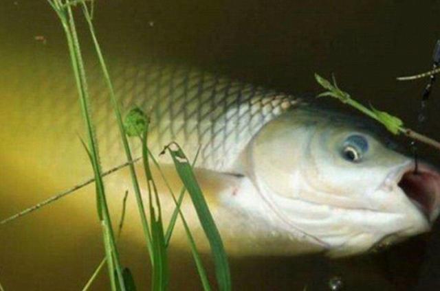 仲秋时期,野钓大草鱼必须弄明白的4个技巧