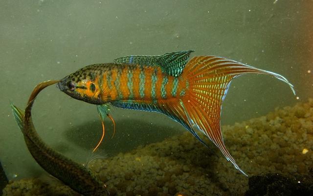 这种鱼很漂亮,也是观赏鱼,很难钓现在想养还要花钱买