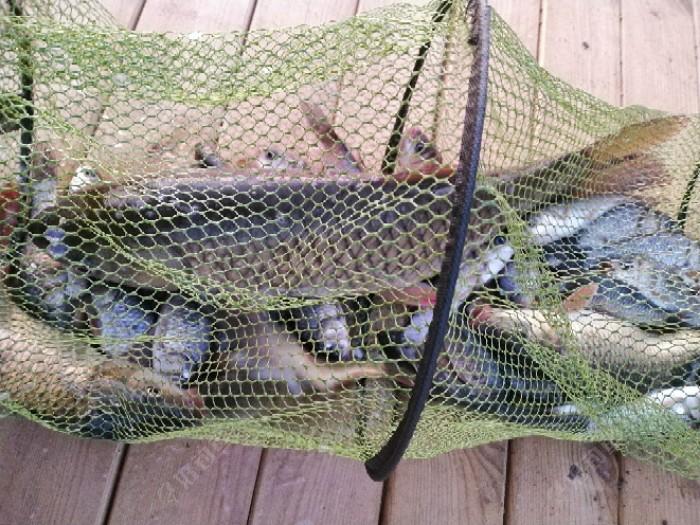 我的部分全部鱼获。看看这些爷爷孙子,大的大,小的小。草鱼鲤鱼鲫鱼品种还不错。