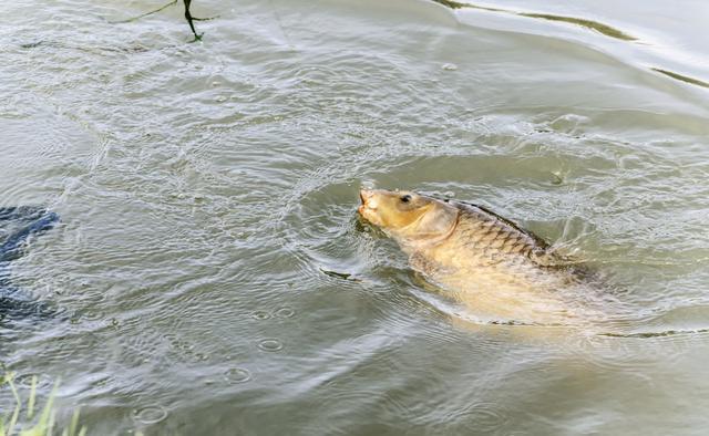 深秋釣鯽心得,老釣手的實戰經驗