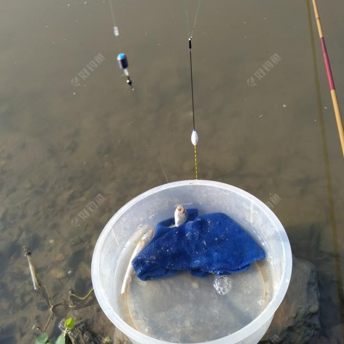 奶鲫的鱼口较轻,第一口不打,浮漂就上浮了。于是我就打那些有力的小顿口。