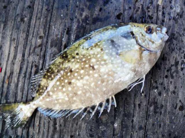 海边一种小不丁点大的泥猛鱼,刺得龇牙咧嘴