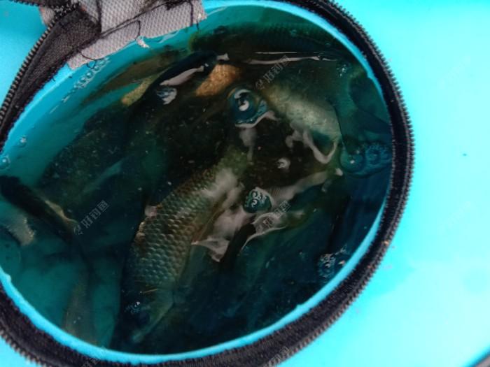 鱼桶里装鲫鱼