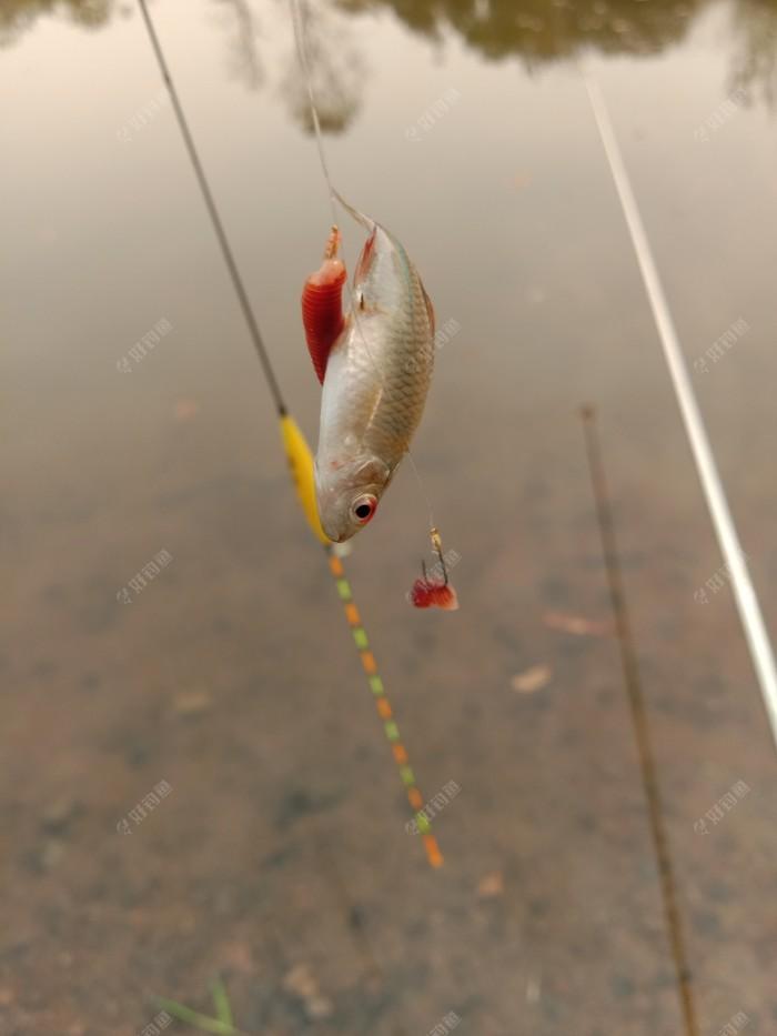 小鰟鲏鱼太多,钩子下去就有口,动作还蛮大的