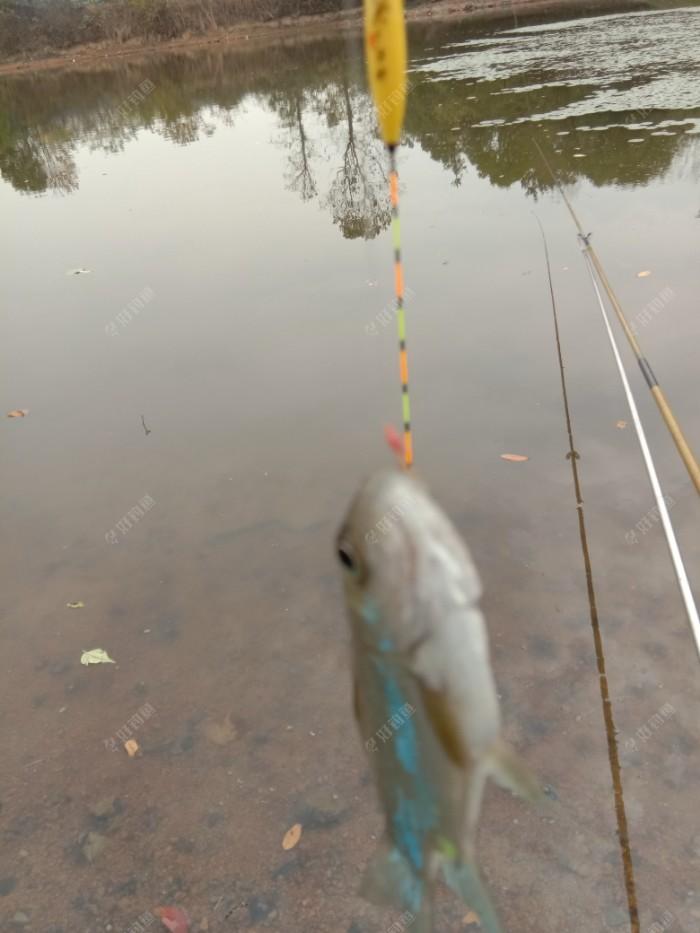 水太浅,漂尾都挨着了鱼嘴