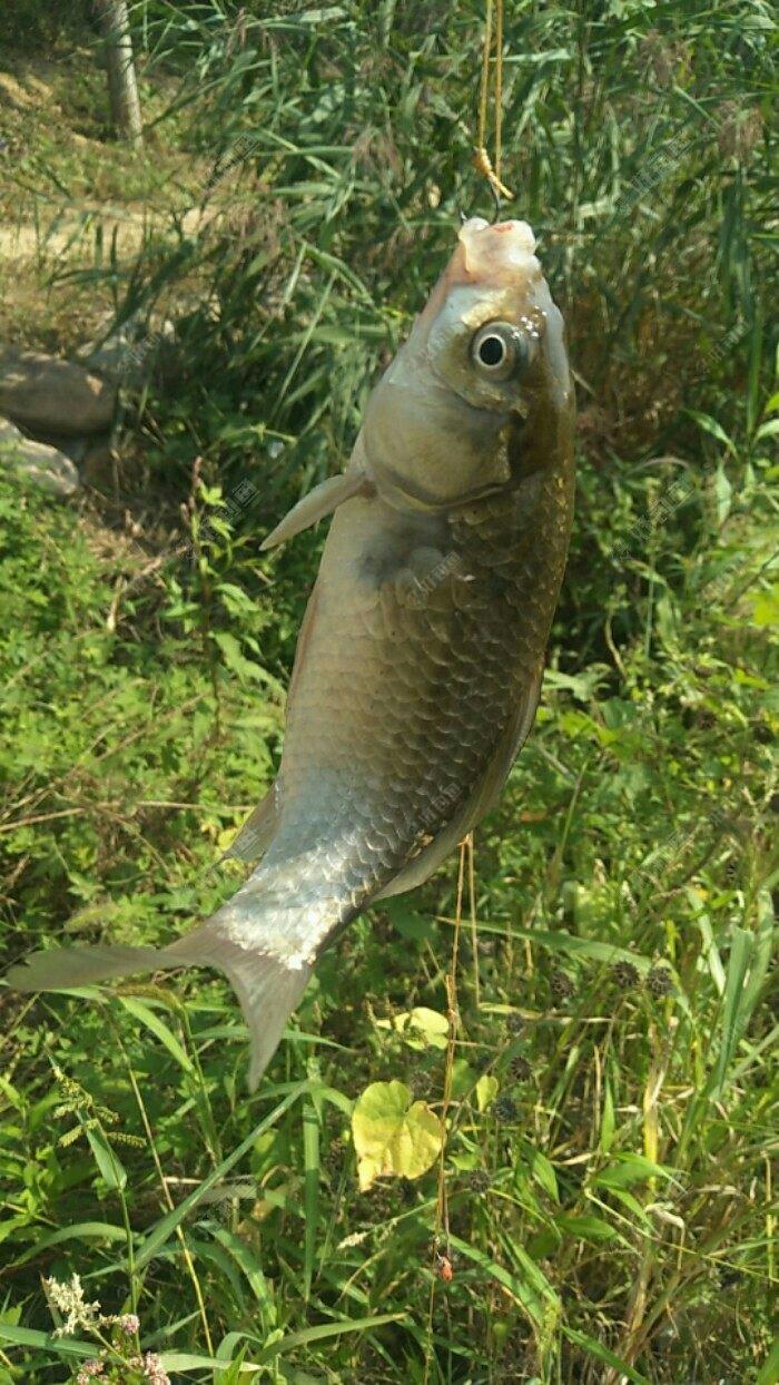 可以啦六七斤的鱼都不是问题,今天居然被秒切了,没办法,只能再换钩子从新微调一下鱼票了,毕竟都是自己帮的钩子,肯定会有一些小的差异的。这次直接连主线都给他换成粗的