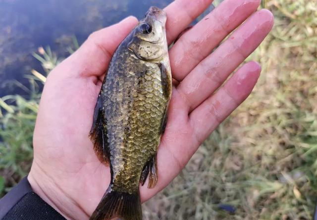 冬季釣鯽魚3種好用蟲餌,蚯蚓釣不上魚,試試另外2種