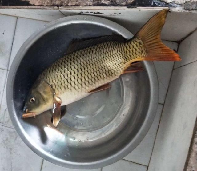 水葫芦边钓鱼,谷麦底钓莽子鲤鱼,收获3条15斤的野生鲤鱼