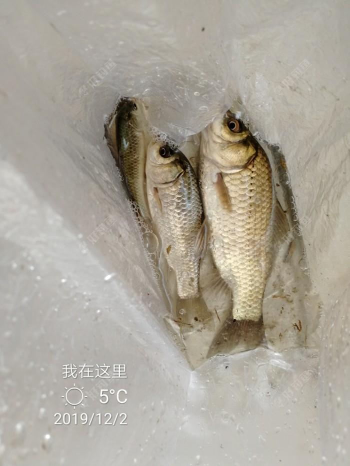 钓了一个小时过过瘾,上了三尾鲫鱼,鱼获不是很喜人。并且三条鱼像是信号指示一样,大中小,哈哈哈。