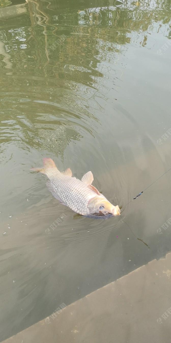 最后我终于把鱼儿搞了上来,虽然没有带抄网,只能是多溜一会鱼,现在他已经是无力了。