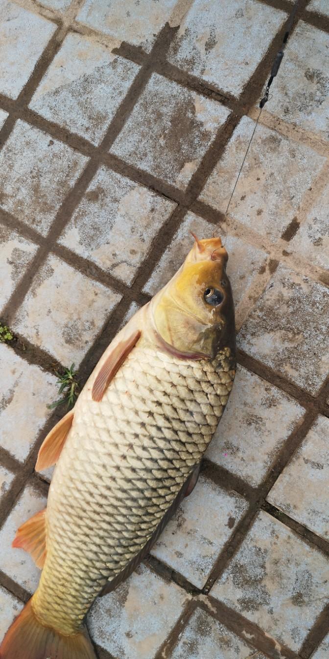 今天知足了,一共两条鱼,一条罗非鱼,在半斤左右,这条鱼三斤以上,也到点了,我们又该下班了,