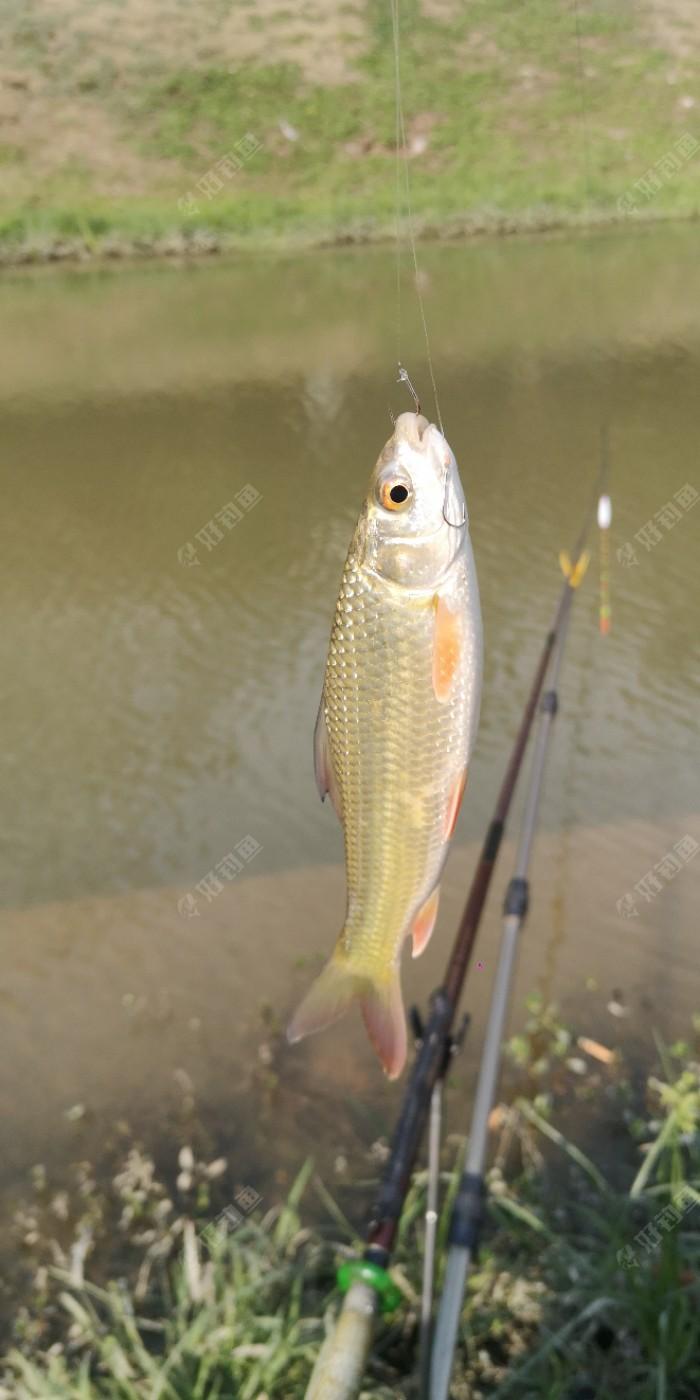 今天第四条鱼,是一条小鲮鱼