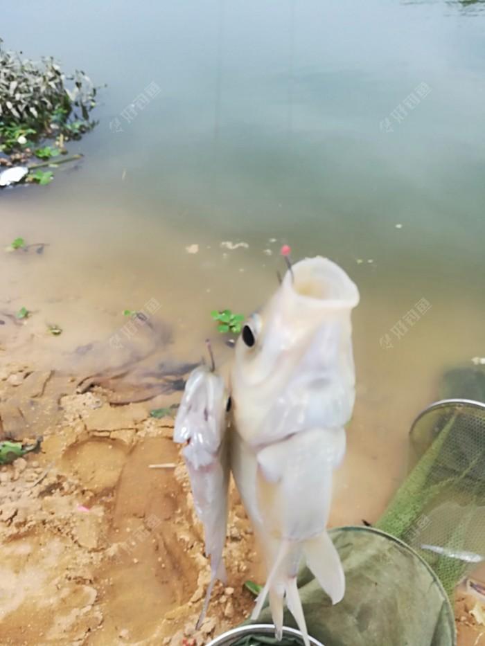 鲫鱼和小翘嘴