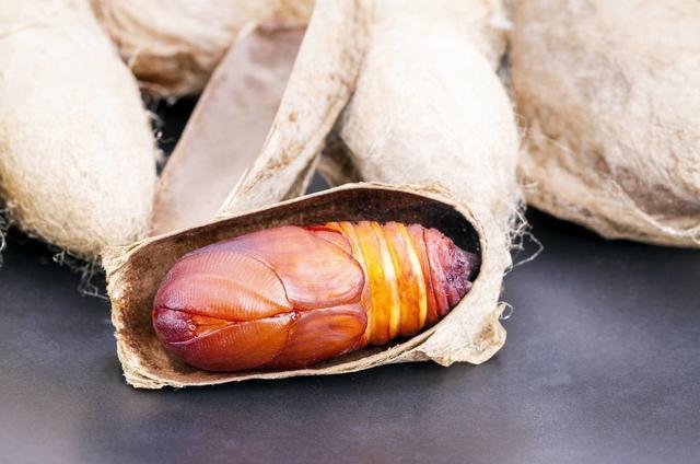 蚕蛹诱鱼能力可媲美红虫,详解一物多用的钓饵