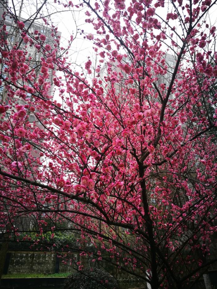 梅花树下就是大叔的钓点!
