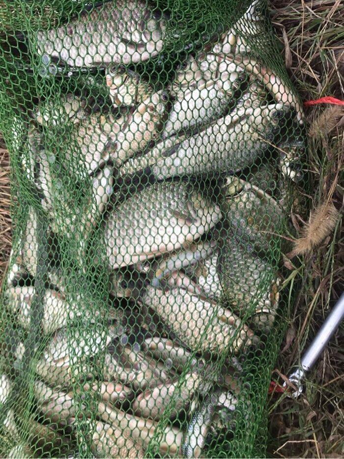 正常鱼获四斤以上,八九斤也是常事。