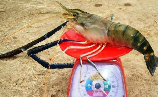 钓了1只1米长1斤重的大虾,一起来欣赏一下吧