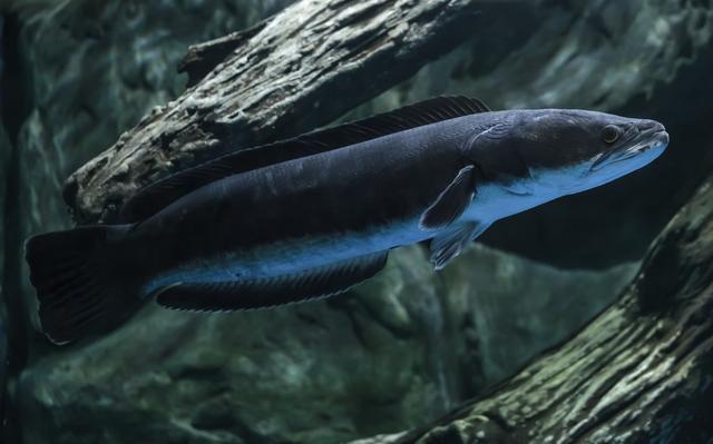 黑鱼为什么会喜欢吃硅胶?路亚黑鱼技巧
