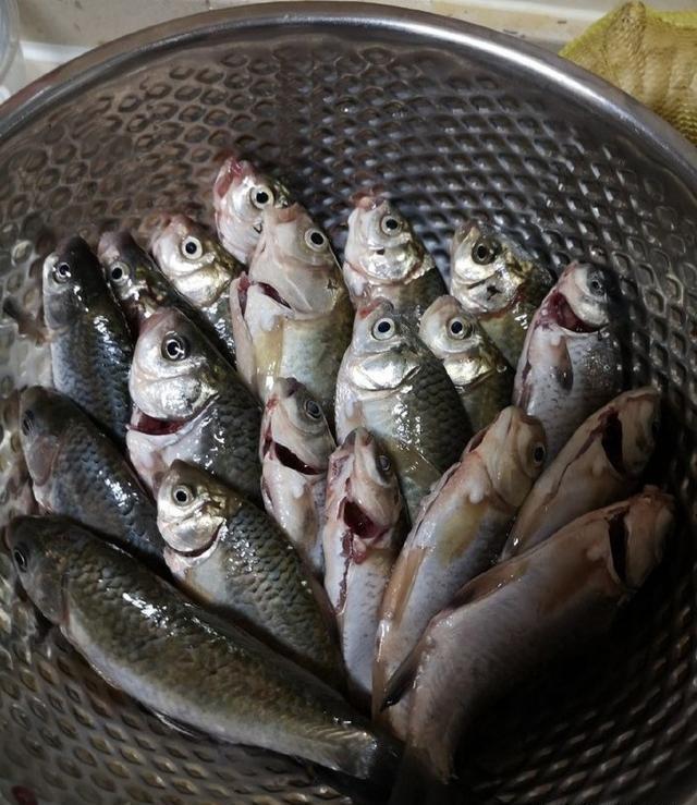 长江河边钓鱼,钓获30多条鲫鱼,分享春钓鲫鱼的经验