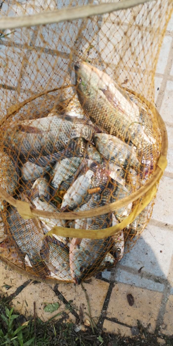 是今天的收获,也算是爆护,别看饵料在鱼塘里钓不到鱼,那是鱼塘里有问题,在野钓是自然水域,没有人做手脚,所以这里的鱼非常的好钓,去鱼塘十有九空,昨天鱼塘里六个人,