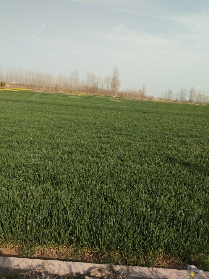 绿油油的麦田