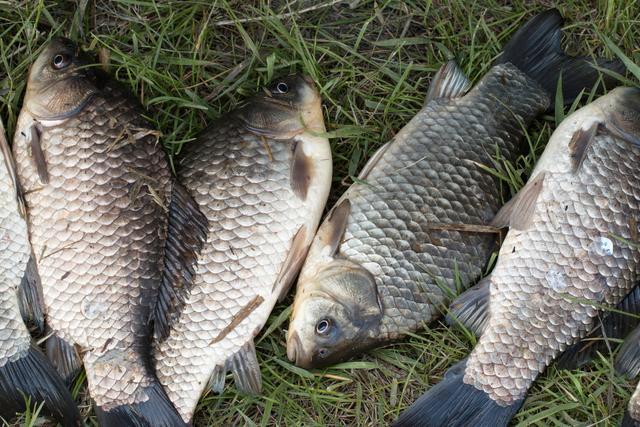 这款自制饵料专钓大鲤鱼,每次一小盆,从未失手过
