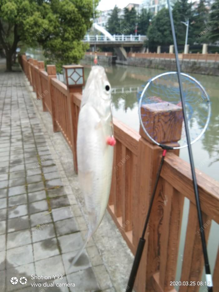 6:50′打的窝子,一个多小时没有鱼口,这不开竿鱼上来了,还是一个不小的餐条啊。