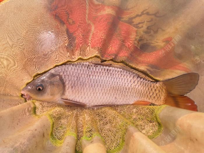 两斤多的健鲤这劲还不小呢,拉着鱼线在水中左右逃窜,呼呼的切水声甚是让人心情激动!