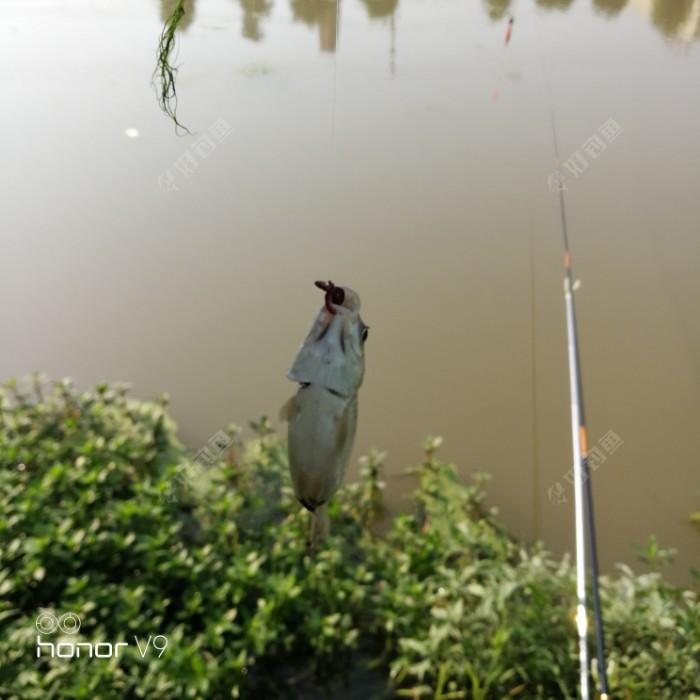 今天的第一尾鱼