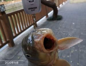 初秋首次下午釣一尾大鯉爆了護