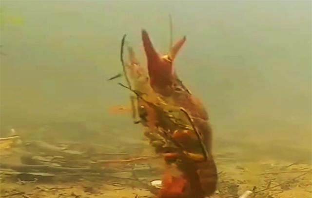 用小龙虾做诱饵,鱼没钓到,钓到一块大疙瘩(图1)
