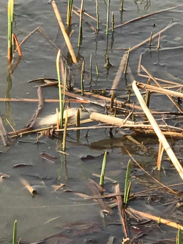 河里的水草开始发芽了。