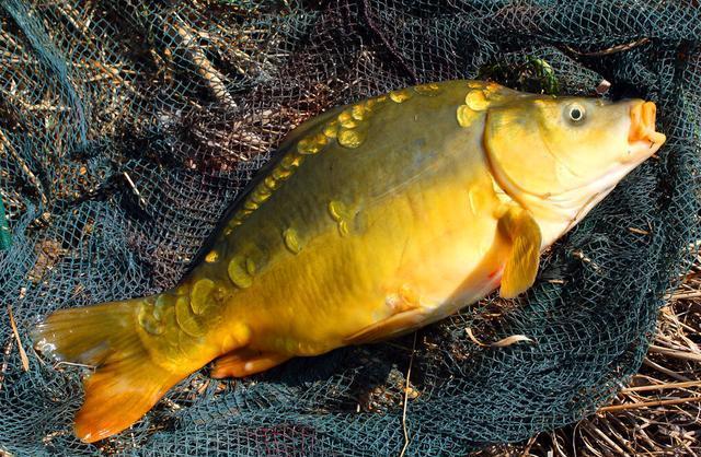 讨厌鲤鱼的湖北人,却被裸斑征服,到底裸斑好不好吃