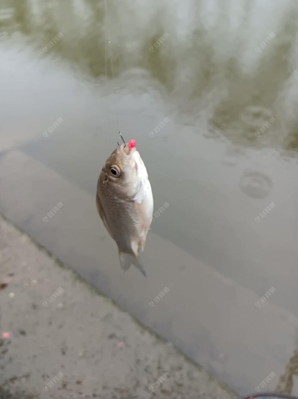 鱼口慢了下来,还要逗钓。